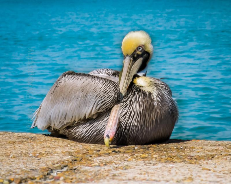 Pelican. Resting by the water royalty free stock images