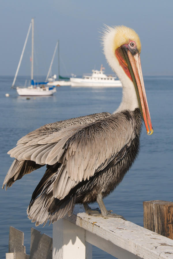 Download A Pelican Rests On A Fence By The Sea. Stock Image - Image: 27702887