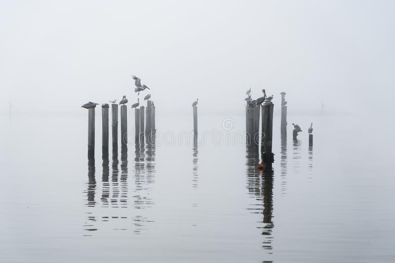 Pelican& x27; s på roosten på en dimmig morgon royaltyfria foton