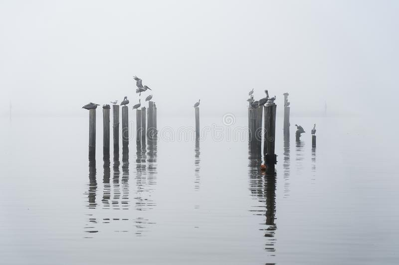 Pelican& x27;s at roost on a foggy morning royalty free stock photos