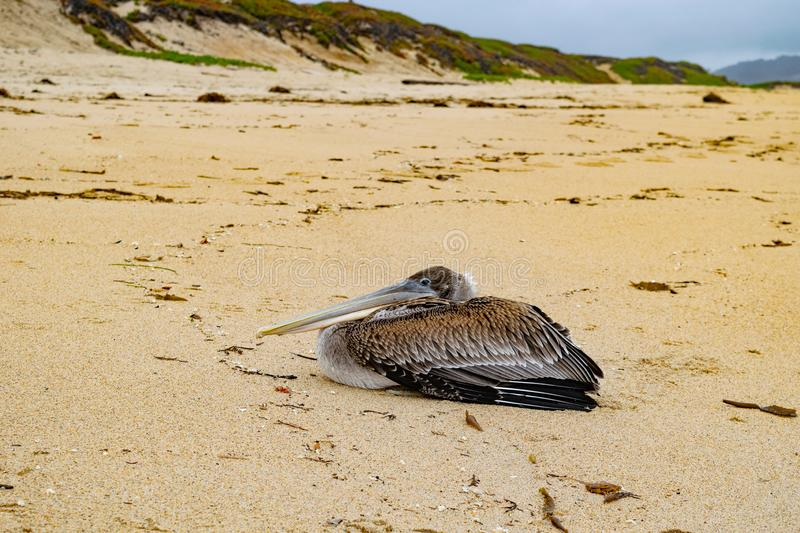 Pelican on the Sand 2. This pelican was resting on the beach in Minterey, CA stock images