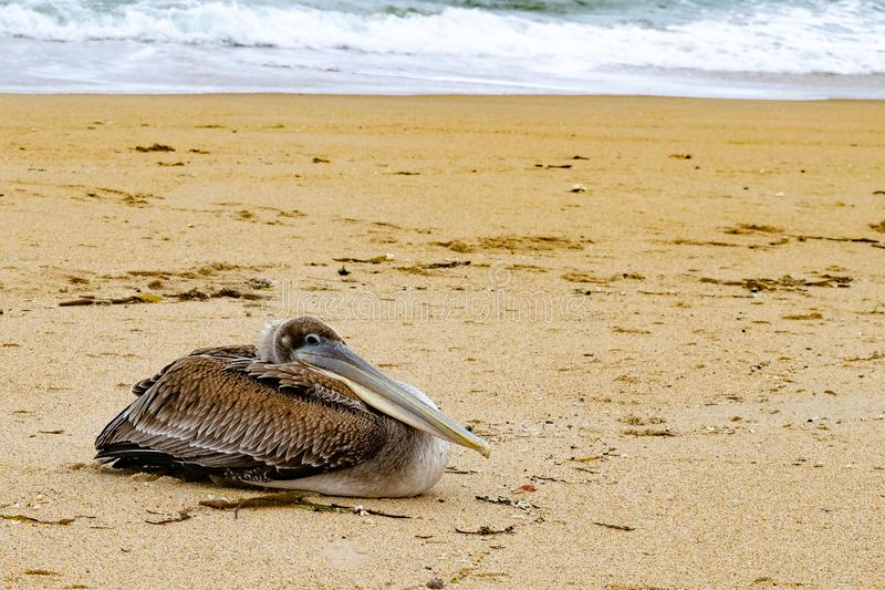 Pelican on the Sand 1. This pelican ws resting alone on the beach in Monterey royalty free stock images