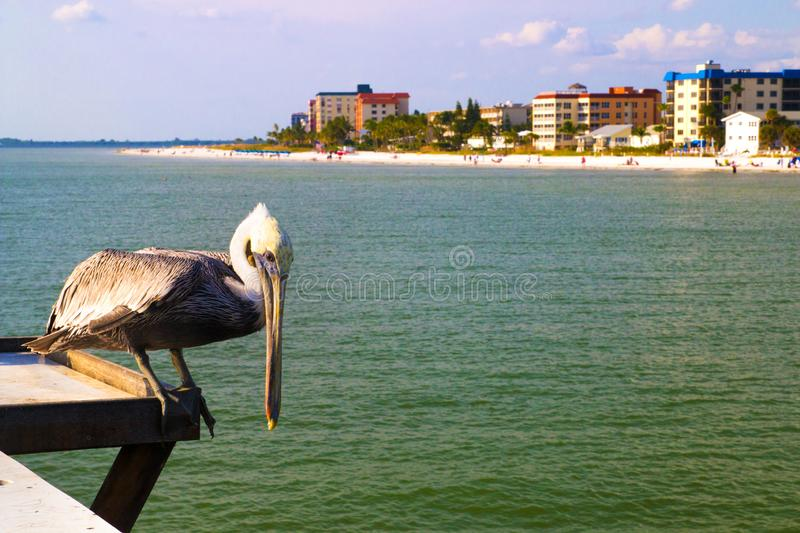 North American native Pelican bird, Fort Myers Pier beach, Florida USA royalty free stock photos