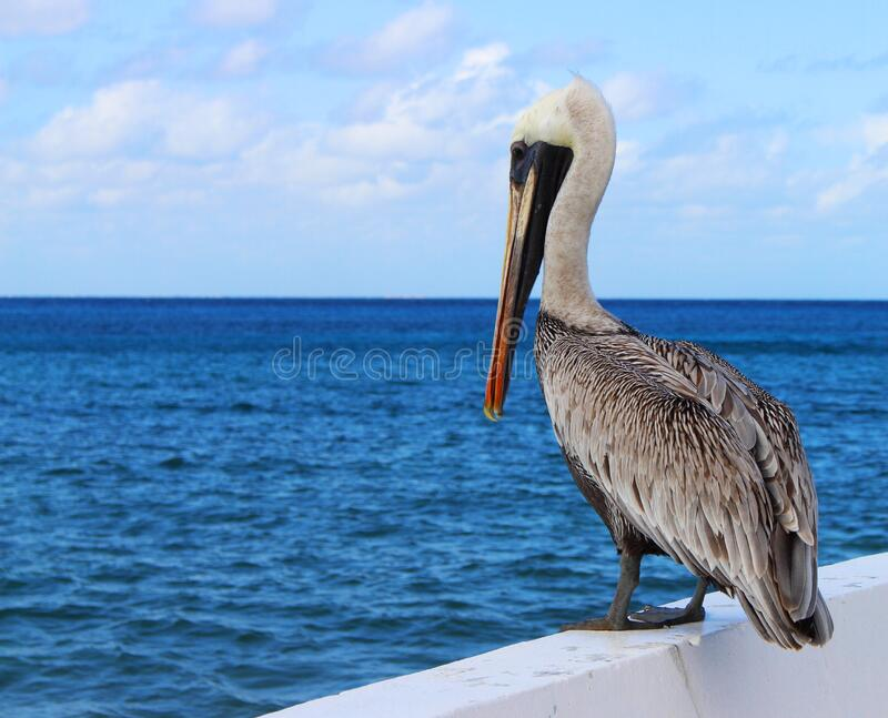 Pelican by sea stock photos