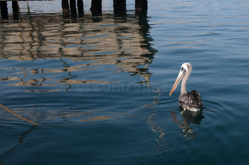 Pelican in the sea. Pelican in the Peruvian sea next to the pier stock images