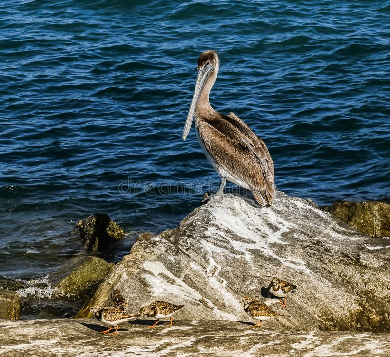 Pelican Sharing an Inlet Jetty with Sandpipers royalty free stock images