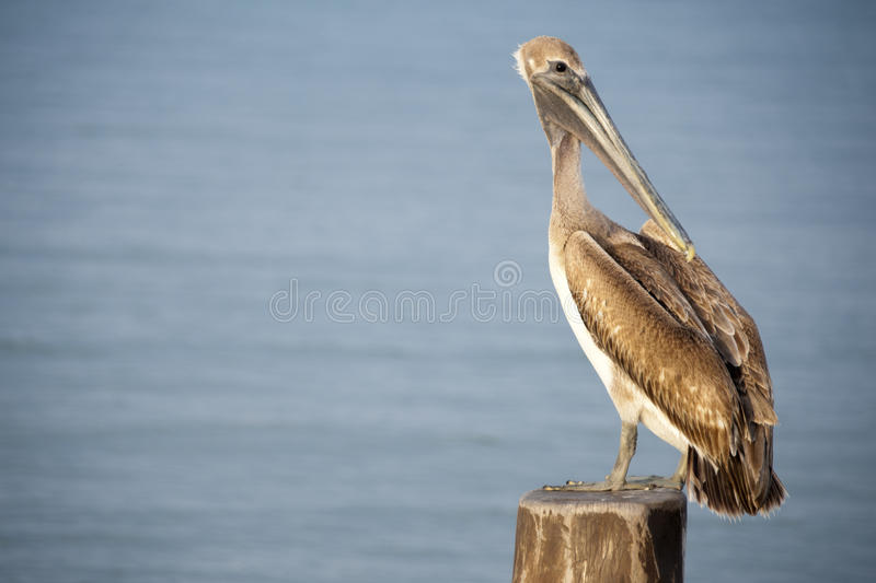 A pelican sits on a pylon post with royalty free stock photo