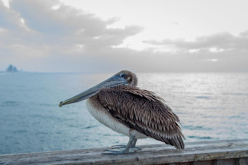 Pelican sitting on a bridge stock photo