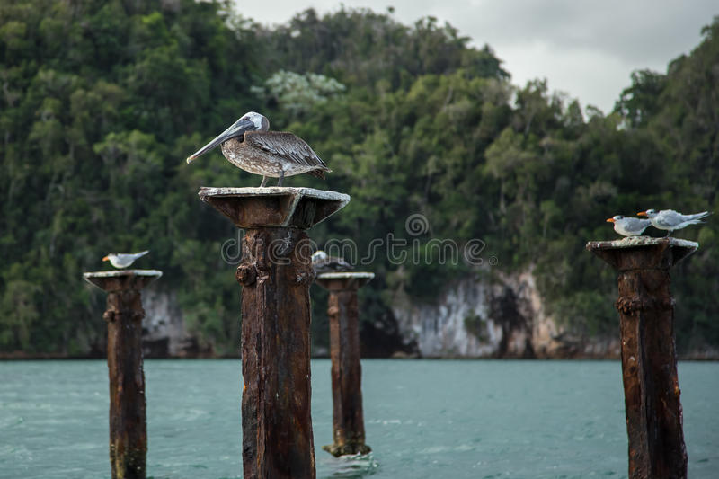 Pelican sitting on rotten jetty support royalty free stock images