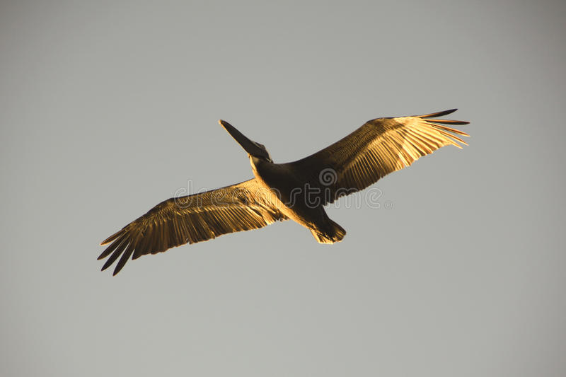 Pelican in the sky stock images