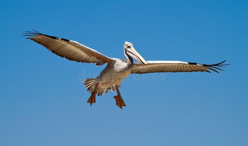 Download Pelican in the sky stock image. Image of landing, bird - 22441219