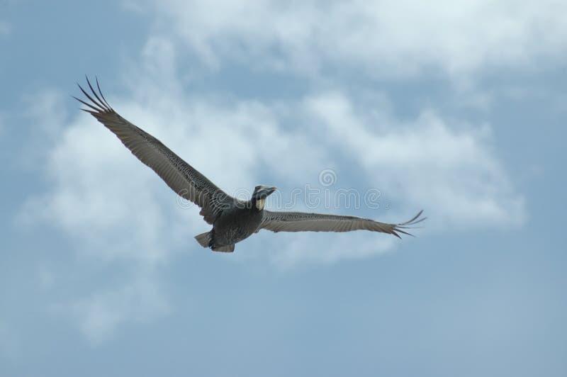 Pelican Soaring 1 Free Stock Images