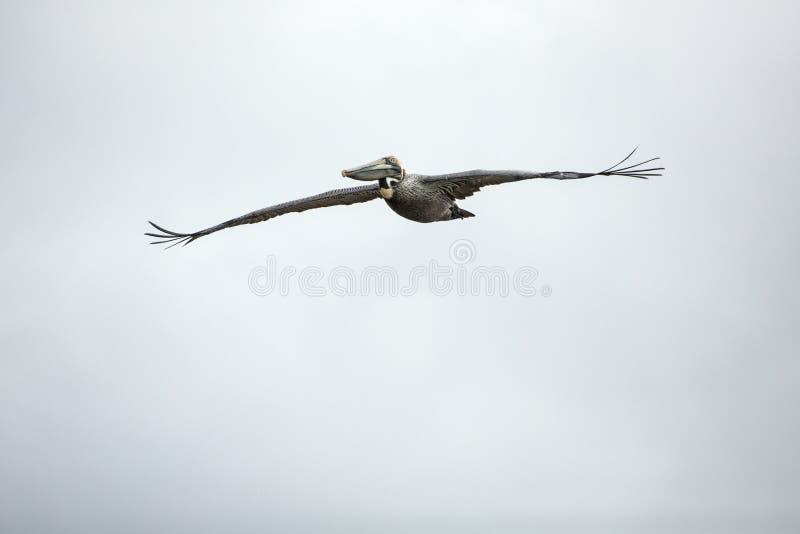 Pelican soaring over Fort De Soto Park, St. Petersburg, Florida. royalty free stock images