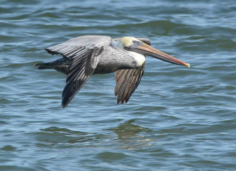 Pelican soars close to the ocean tidal poor looking for a fresh meal. They are characterized by a long beak and a large throat pouch used for catching prey and stock photo