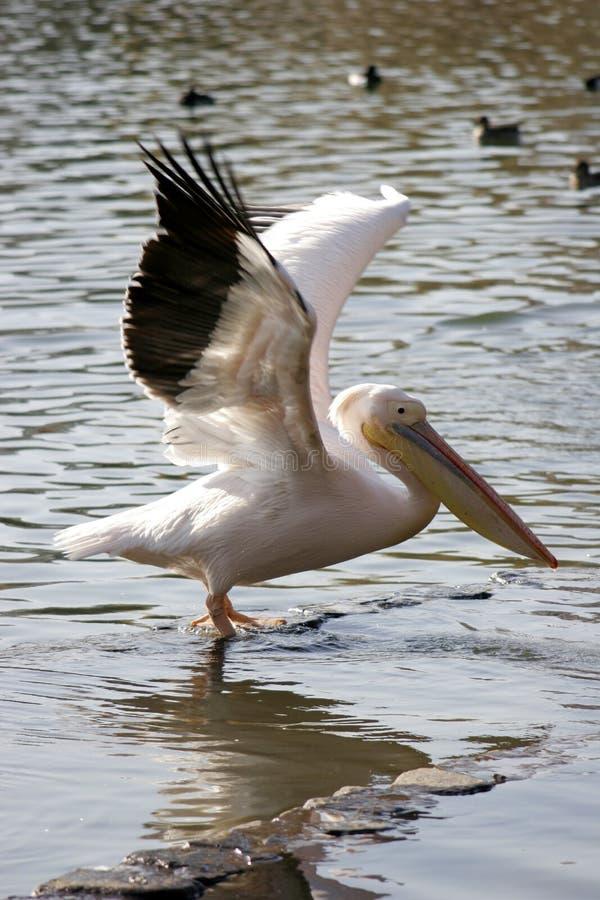 Pelican Spreading wings stock photo