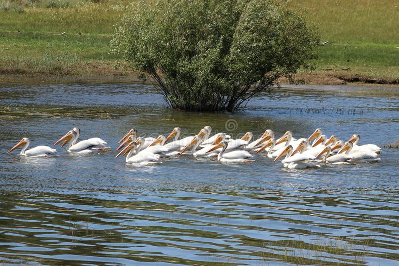 Pelican Squad. A squadron of 29 pelicans on Lake Davis in California royalty free stock image