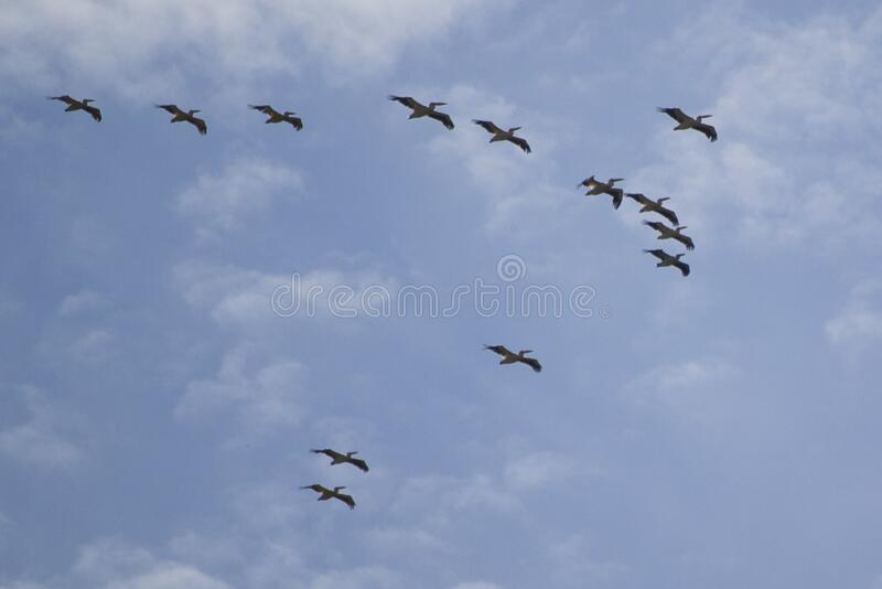 pelican squadron stock photography