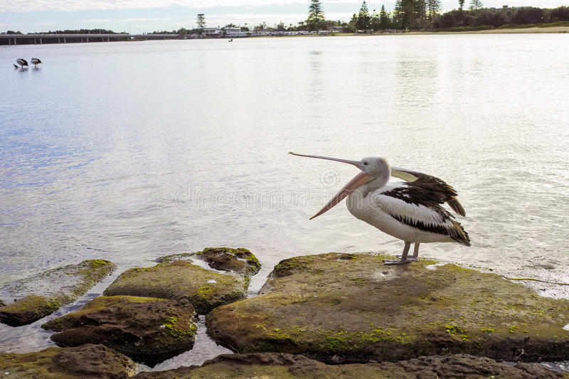 Pelican standing on rock at shore in The Entrance Australia. Pelican with beak open standing on rocks at shore and in the sea at The Entrance Australia. Pod of stock photos