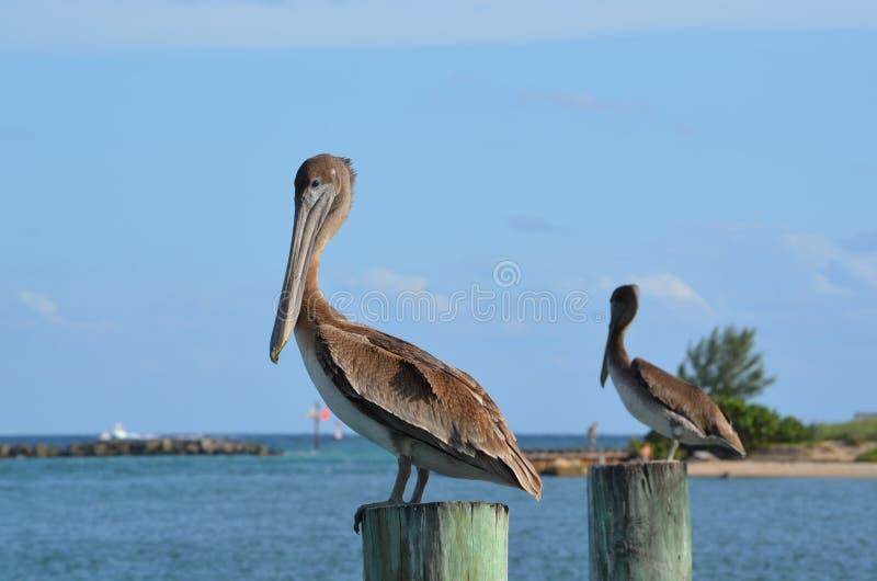 Download Pelican Stare stock photo. Image of pelicans, pelican - 27649050