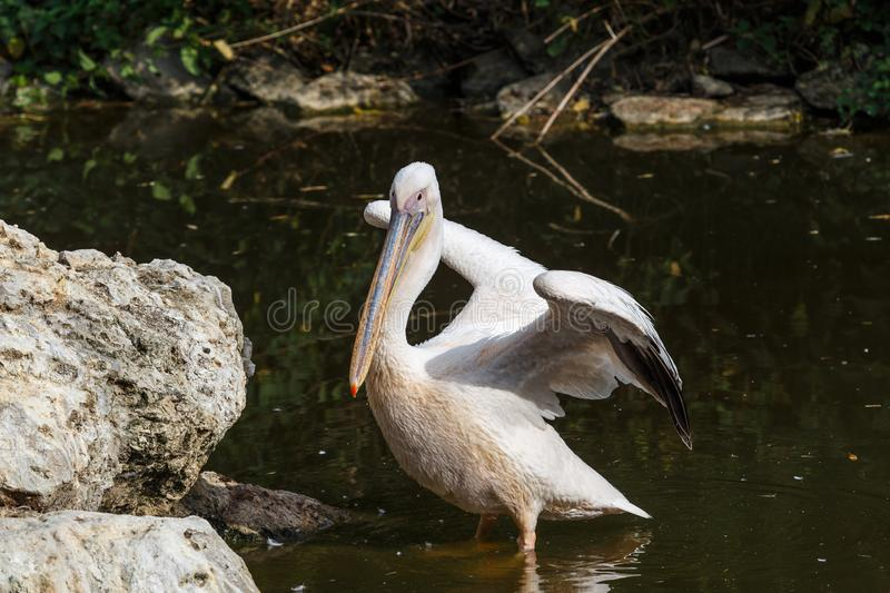Pelican with straightened wings stock image