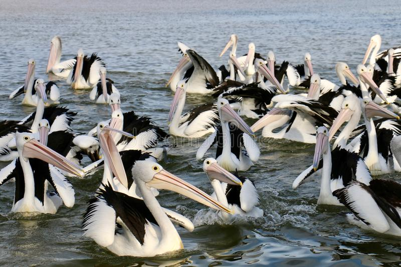 Pelican on the sun. Relaxing stock photo