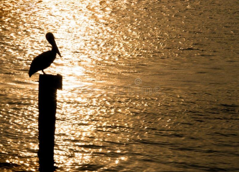 Pelican sunrise stock photo