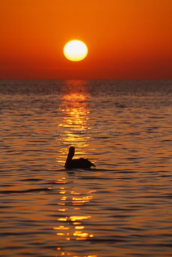 Pelican at sunrise, Florida Keys, Vertical royalty free stock photography