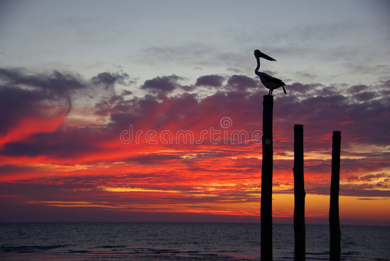 Download Pelican Sunset stock image. Image of australia, purple - 8170623