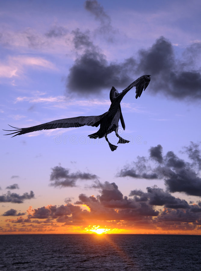Download Pelican at sunset stock photo. Image of dramatic, twilight - 9192722