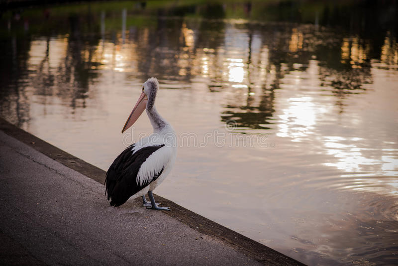 Pelican in the sunset stock image
