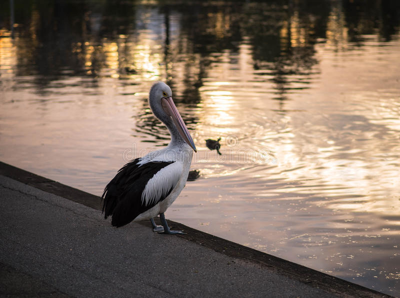 Pelican Sunset stock images