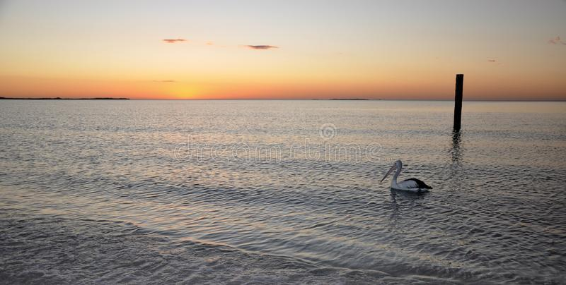 Pelican at Sunset: Indian Ocean, Western Australia stock photo