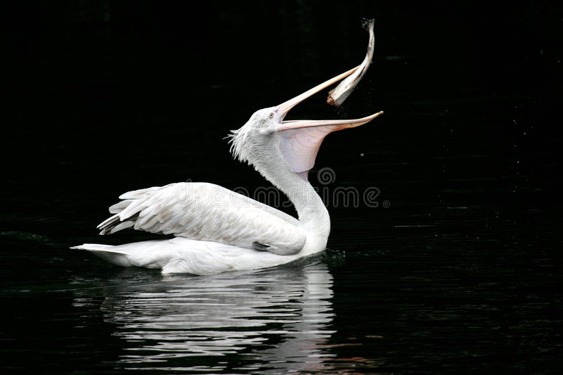 The pelican swallows a fish royalty free stock photos