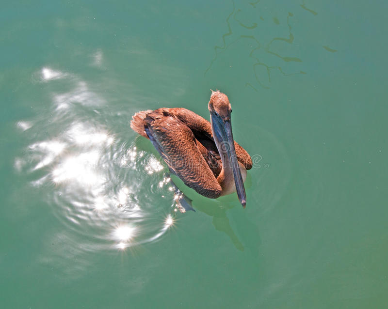 Pelican swimming in Cabo San Lucas marina in Baja Mexico stock photography