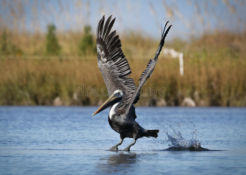 Pelican taking off stock images