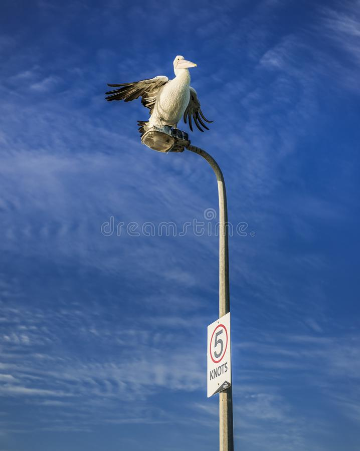 Pelican taking off from a streetlamp stock images