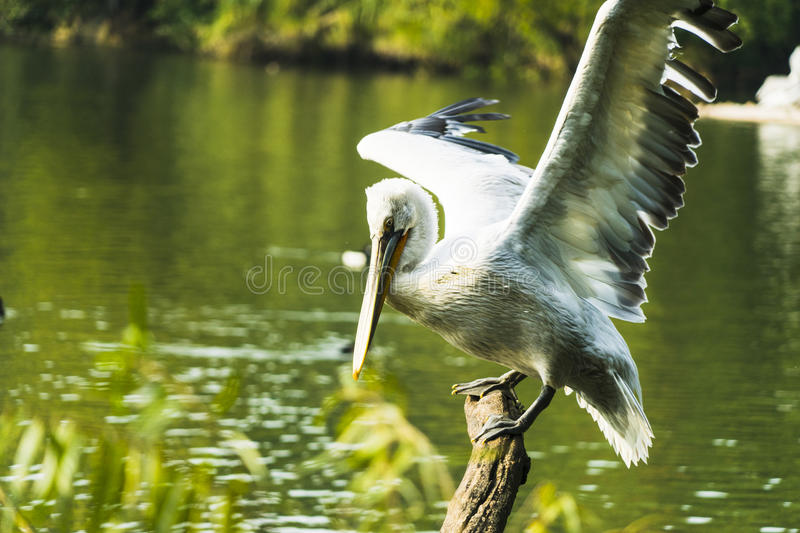 Pelican. The pelican in a tree photo was taken on:2016.12.2 stock photography