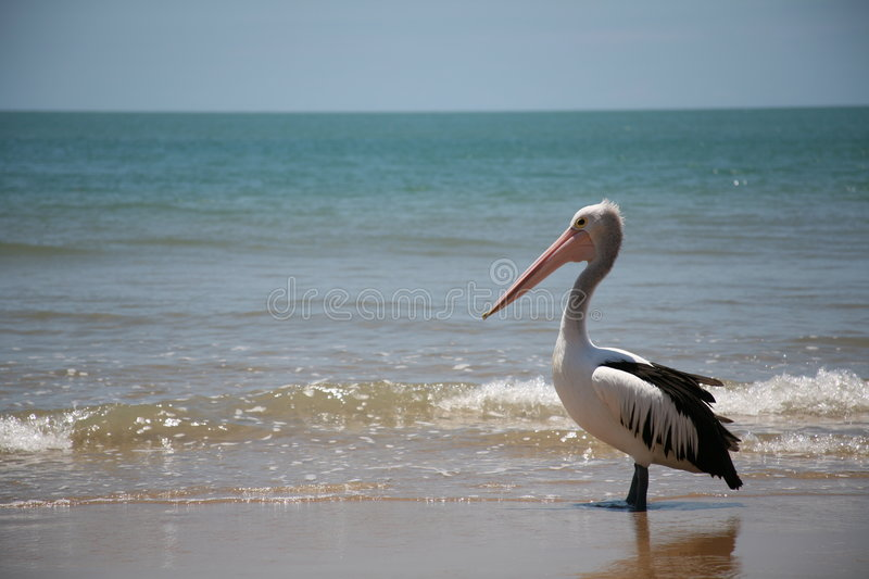 Download Pelican Waiting stock photo. Image of bait, australia - 1561016
