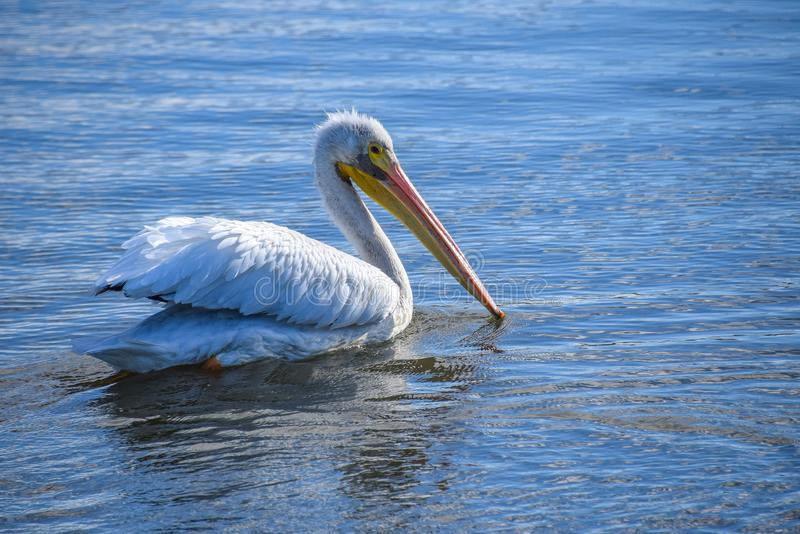 White Pelican Swimming at Baylands Reserve. This pelican was fishing alone on San Francisco Bay at Baylands Park near Palo Alto, California royalty free stock images