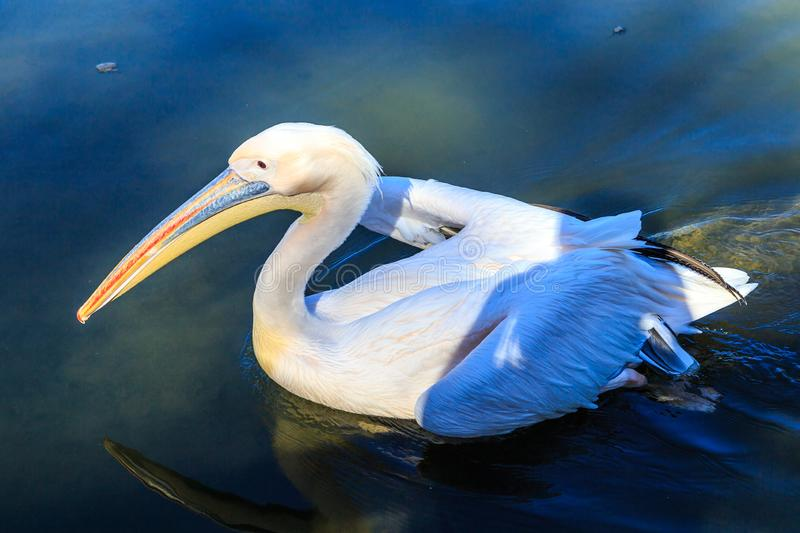 Pelican in the water royalty free stock photo