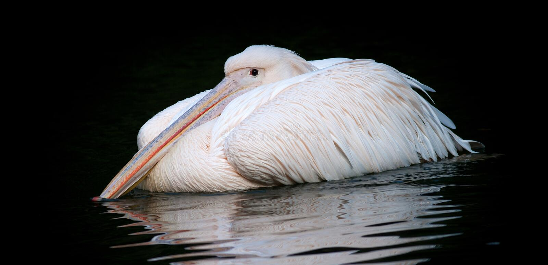 Pelican white stock photography