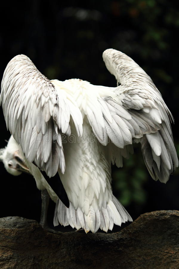 Free Pelican Wings Royalty Free Stock Photos - 17831428