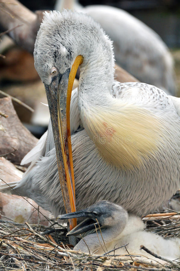 Free Pelican With A Chick Stock Image - 30857921