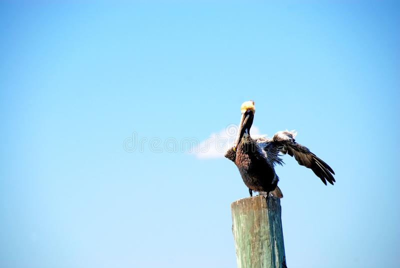 Pelican on wooden post. Pelican resting on post isolated against blue sky stock photography
