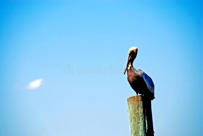 Pelican on wooden post. Pelican resting on post isolated against blue sky stock photos