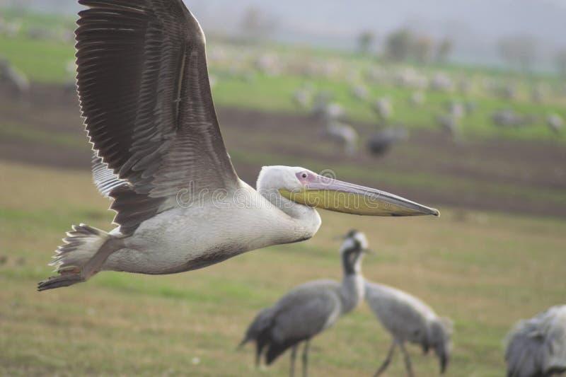 Pelicanes di migrazione fotografia stock libera da diritti