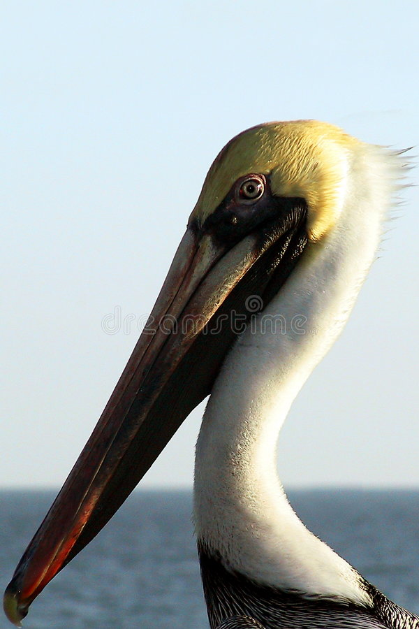 Retrato Do Pelicano Imagem de Stock