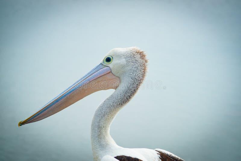 Pelicano australiano perto da água foto de stock royalty free