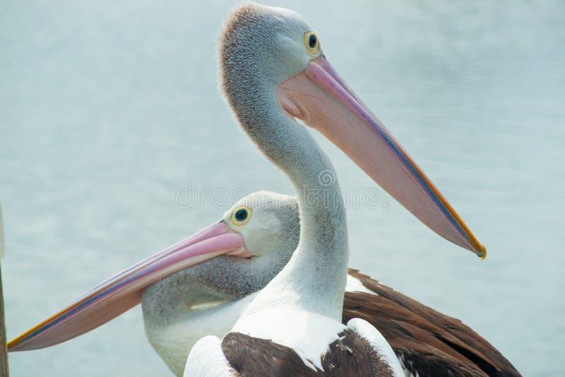 Pelicano australiano perto da água fotografia de stock