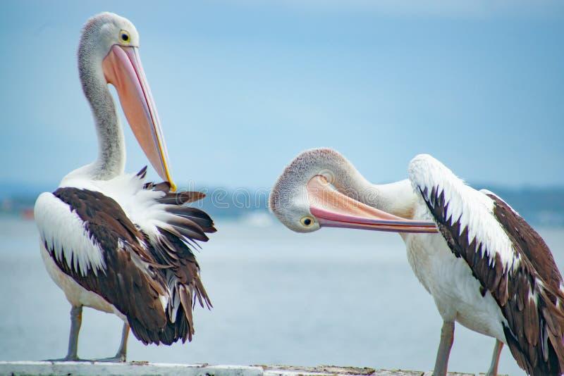 Pelicano australiano perto da água fotos de stock